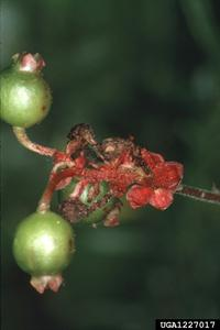 Damage to Elliott's blueberry caused by blueberry bud mite.