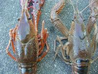 photo showing differences between the red swamp crawfish carapace and the white river crawfish carapace