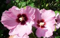aphrodite althea flowers