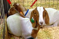 show boer goats with halter and lead