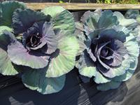 Picture of cabbages in the garden