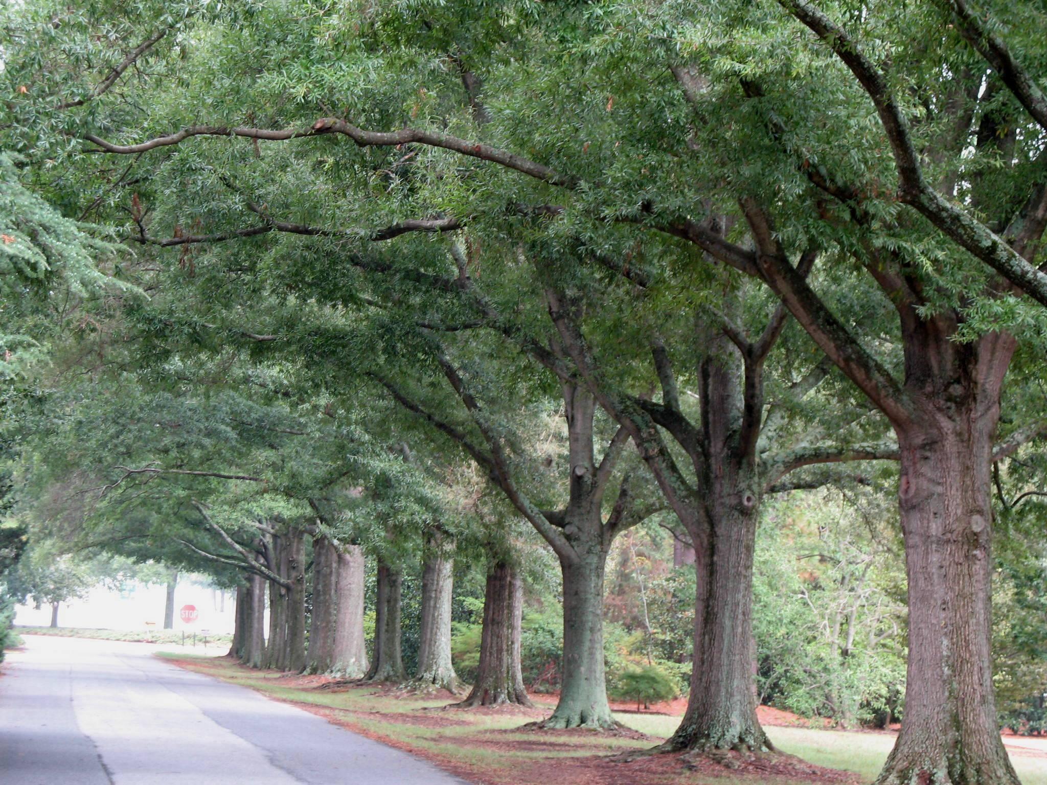 Planting live oak tree acorns : Willow oak deciduous shade tree lsu agcenter