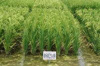 research plot of rice