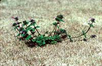 Henbit - Lawn Weed Photo