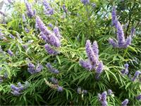 Shoal Creek vitex