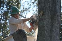 Arborist sawing branch in tree.