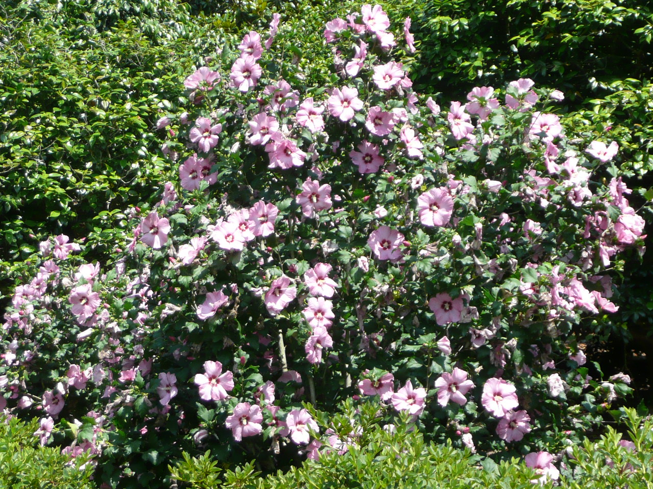 Althea Flowering Shrub http://www.lsuagcenter.com/en/our_offices ...