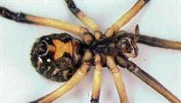 Brown widow underside