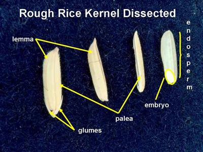 mature rice kernel dissected