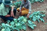 Picture of kohlrabi plants.