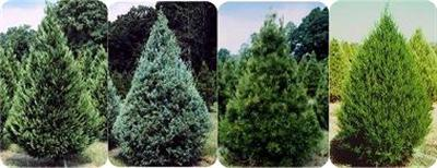 From l. to r.: Leyland cypress, Arizona cypress, Virginia Pine, Easter redcedar