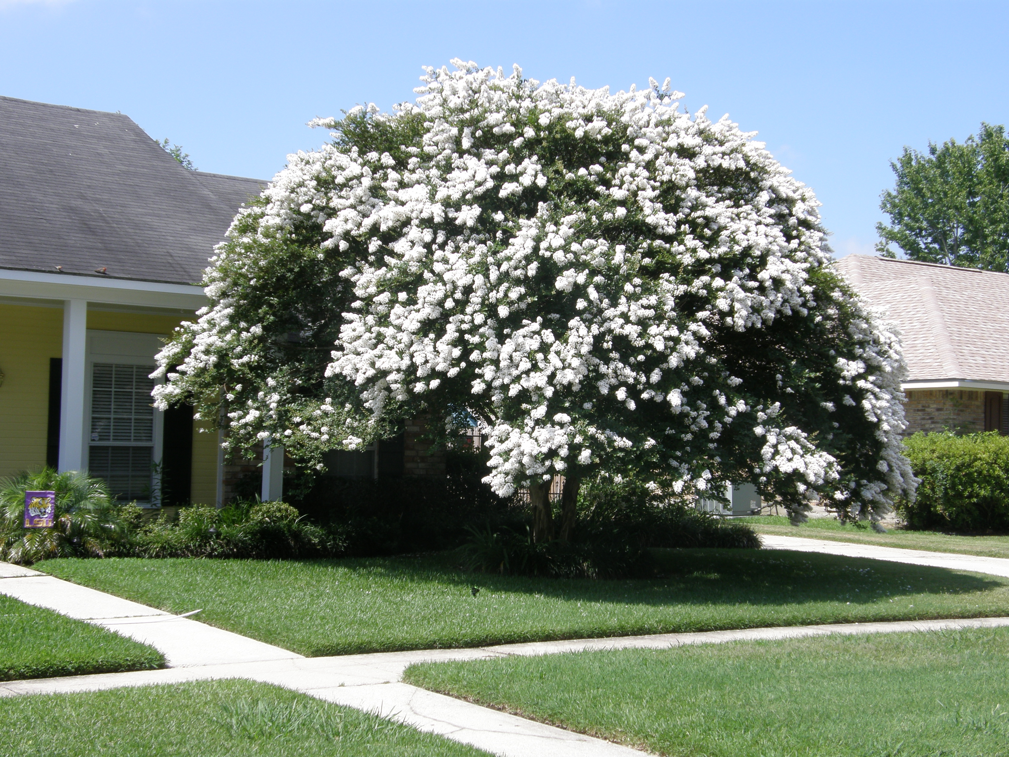 how to fix a murdered crepe myrtle