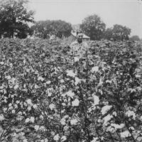 cotton field from the past