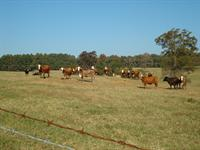 cattle at Hill Farm