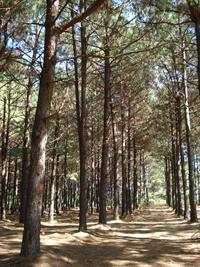 pine forest at Hill Farm