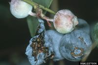 fire ant damage to blueberries