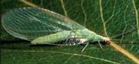 Green lacewing adult. Photo courtesy of Michigan State University, Cooperative Extension Service.