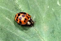 Asian ladybeetle. Photo by Scott Bauer, USDA, ARS.