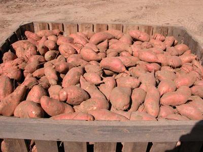 Bin of sweet potatoes