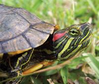 photo of a red eared slider