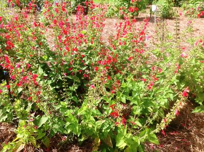 Lady in Red salvia