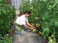 LSU AgCenter Research Associate Wanda Ellis harvests greenhouse tomatoes