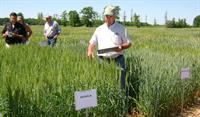Dr. Steve Harrison is showcasing wheat varieties