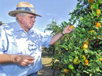 Romero picking satsumas