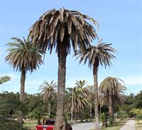 Texas Phoenix palm decline