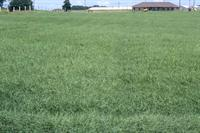 Field of Bermuda grass at the Calhoun Research Sration