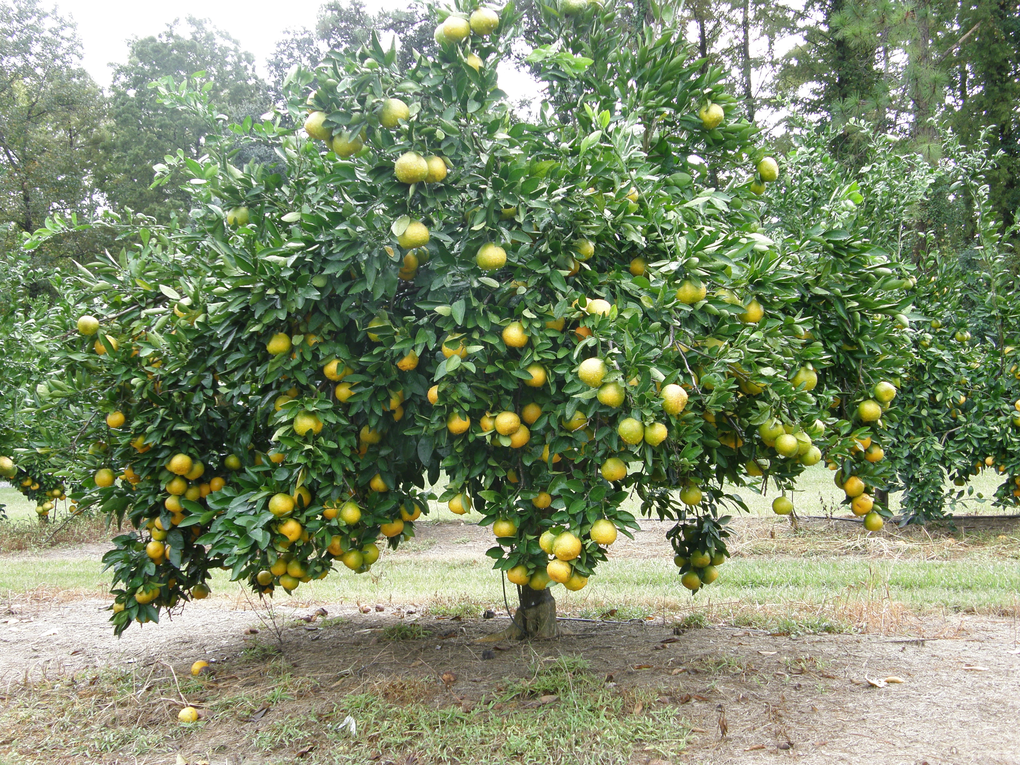 Willing landscape landscaping plants and trees for sale for Fruit trees for sale