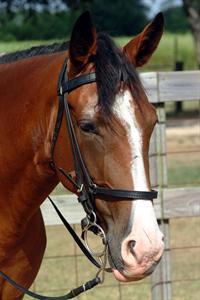 head shot of sorrel horse with bridle