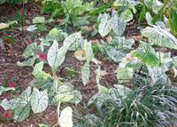 caladiums ready to dig