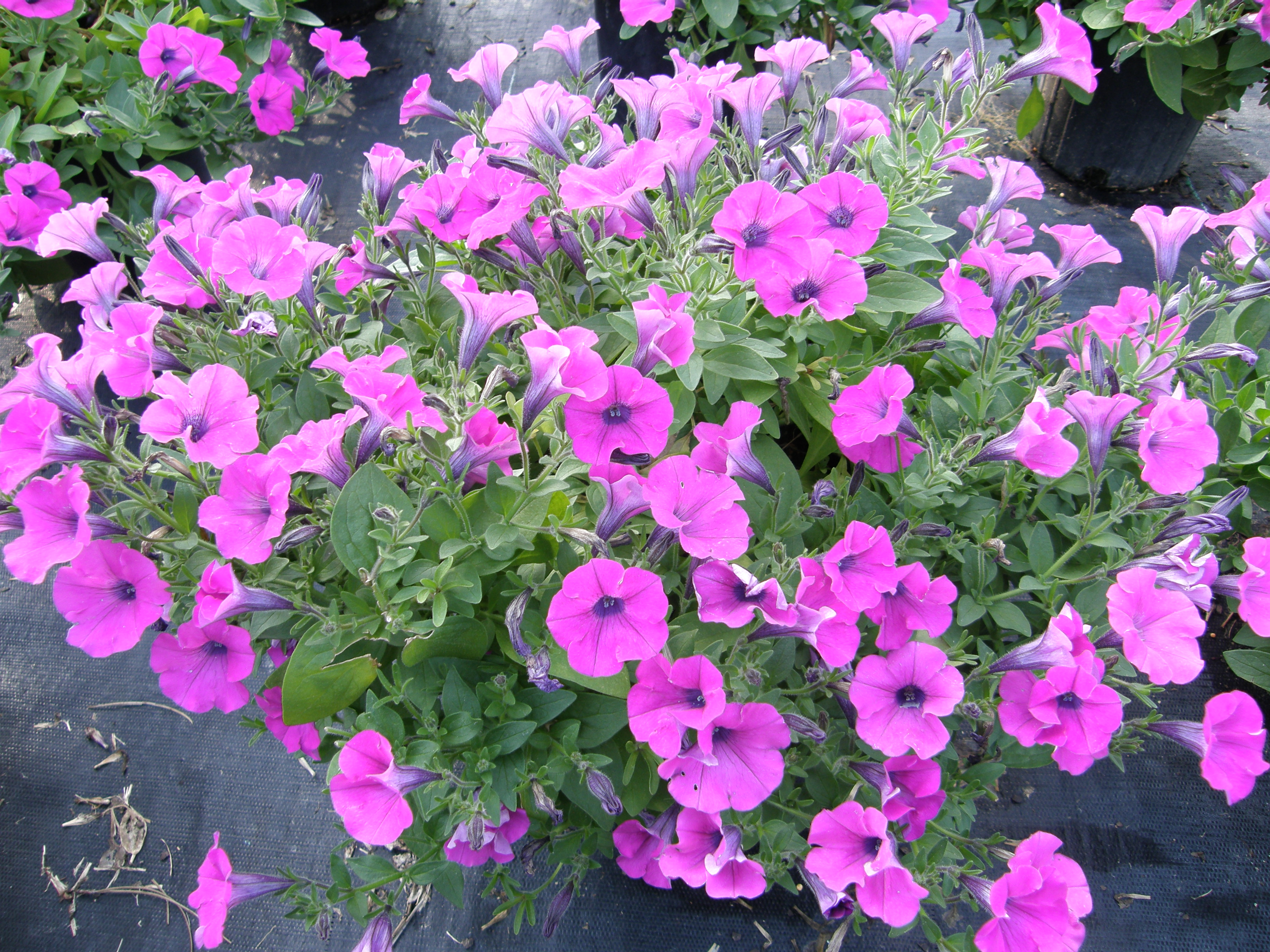 Petunias for spring color lsu agcenter - Wave petunias in containers ...