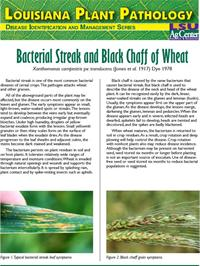 Louisiana Plant Pathology Series (Wheat) Bacterial Streak and Black Chaff of Wheat