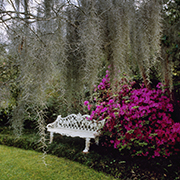 A white wrought-iron bench amid the hot pink blooming azaleas with draping moss in the foreground.
