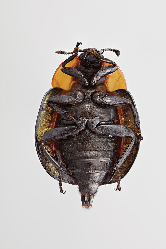 Adult American carrion beetle ventral viewjpg