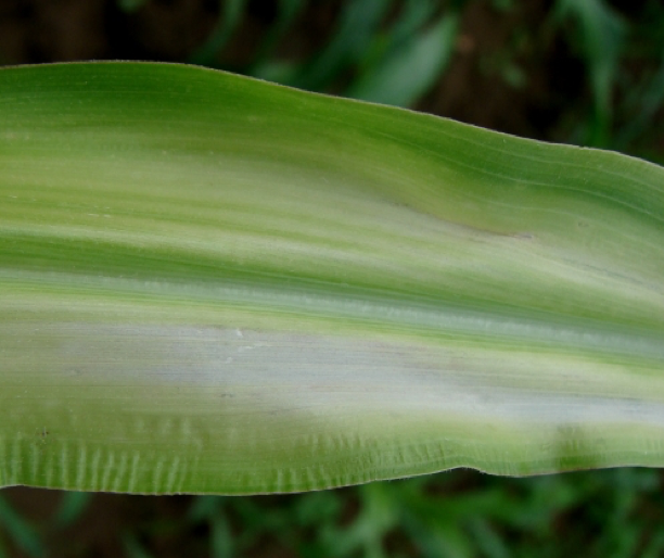 Corn nutrient deficiency 2png