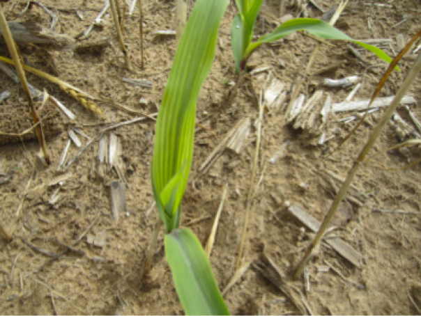 Corn nutrient deficiency 3png