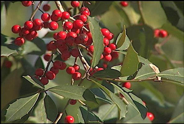 1223_Fig_1_holly_foliage_and_berriesjpg