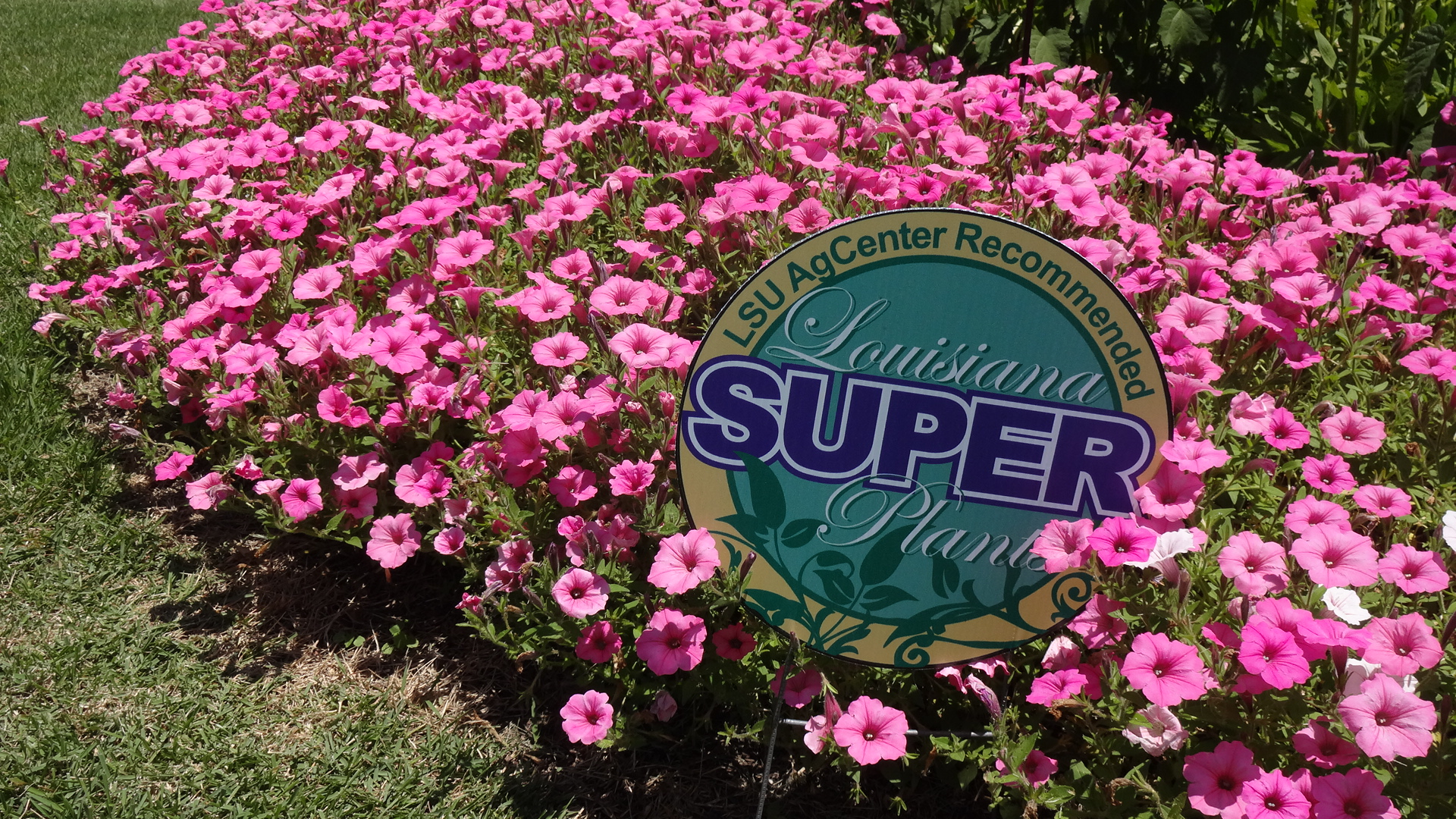 Supertunia Vista Bubblegum PetuniaJPG Allen OwingsJPG