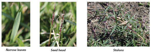 Image of zoysiagrass narrow leaves, seed head, and stolons.