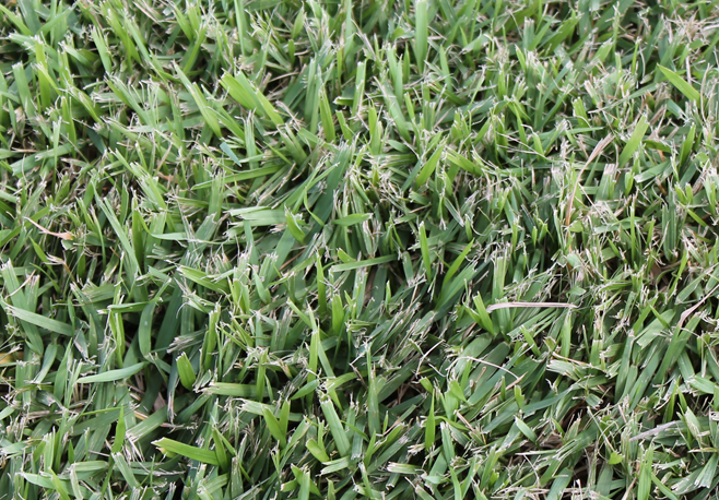 Image of zoysiagrass.
