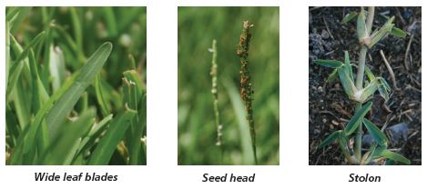Image of St. Augustinegrass wide leaf blades, seed head, and stolon.