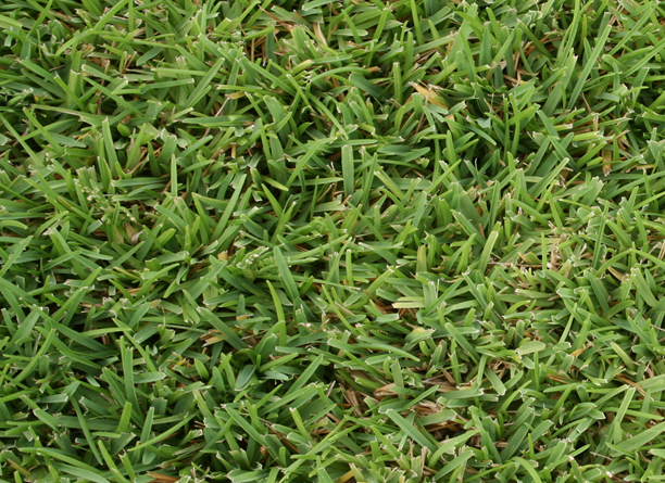 Image of St. Augustinegrass.