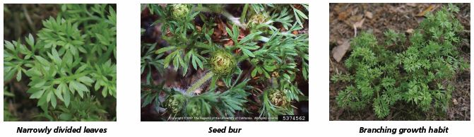 Image that shows narrowly divided leaves, seed bur, and branching growth habit.