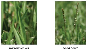 Image of centipedegrass narrow leaves and seed head.
