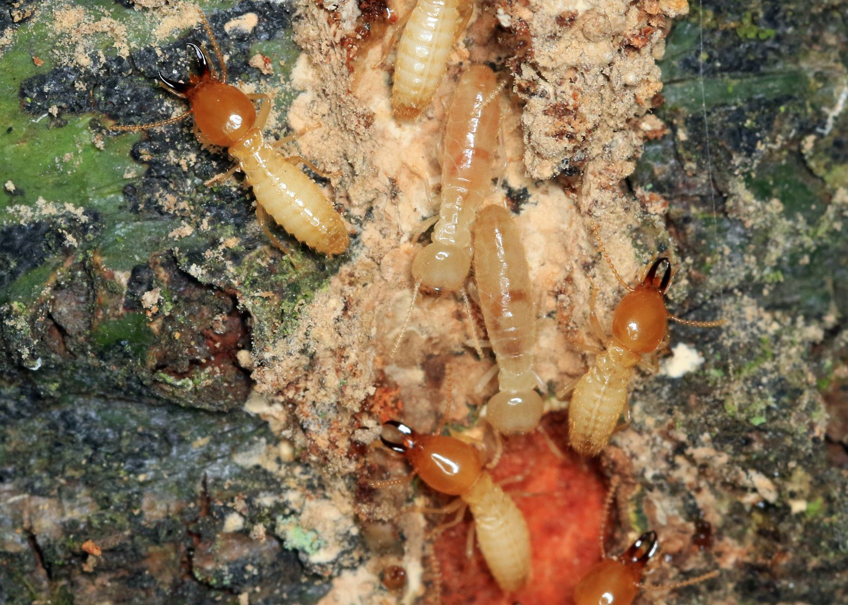 Formosan subterranean termite workers and soldierspng