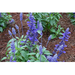Evolution Violet Salvia1.jpg thumbnail