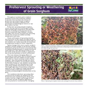 Pub 3553 - Preharvest Sprouting or Weathering of Grain Sorghum_FINALpdf thumbnail